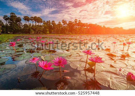 Dawn on the lake with lotuses. Cambodia, Angkor Wat
