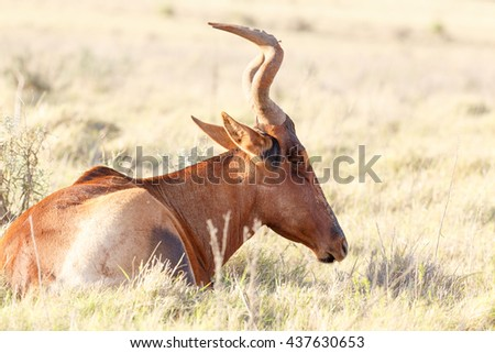 Day dreaming - Alcelaphus buselaphus caama - The red hartebeest is a species of even-toed ungulate in the family Bovidae found in Southern Africa.