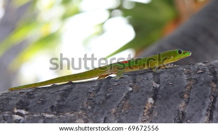 Day Gecko (Phelsuma lizard) 02