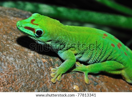 Day gecko sitting on branch - stock photo