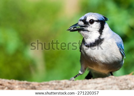 daylight scene of a blue-jay perched on a tree branch