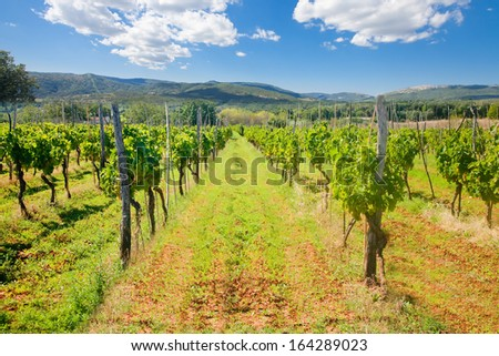 Daylight shot of green vine lines in a vineyard