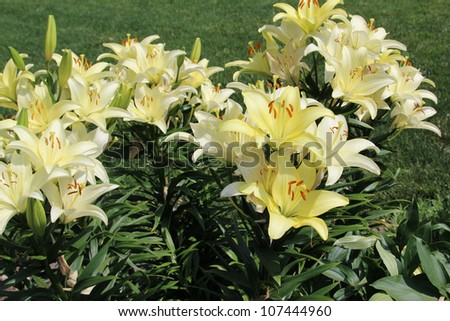 Daylilies (Hemerocallis) are a hardy and showy perennial flower, coming back year after year, making it a favorite in perennial borders or along fence lines. Day Lilies are stars of the flower garden. - stock photo