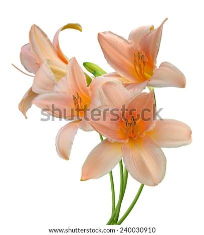 Daylily flowers - stock photo