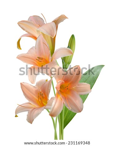 Daylily flowers on a white background.  - stock photo
