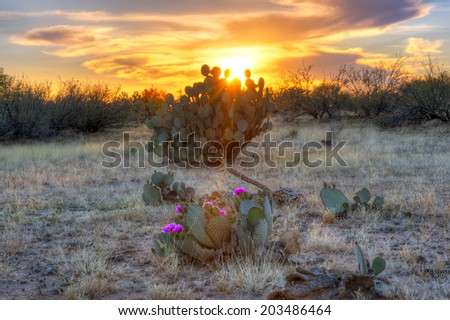 Days last rays reaching for blooming Prickly Pear Cactus. - stock photo