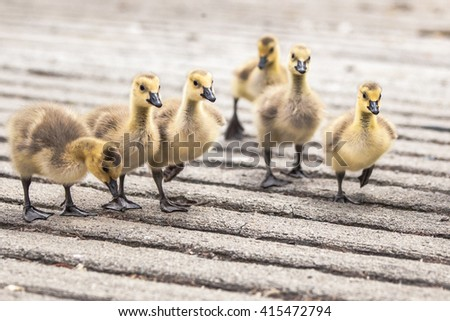Days old gosling chicks are walking and curious about their surroundings, exploring. shallow dof.  - stock photo