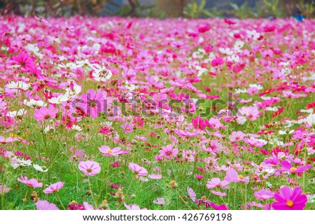 De Focus Cosmos Flower Field Blurred From the Wind Background Texture - stock photo