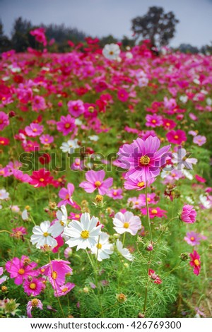 De Focus Cosmos Flower Field Blurred From the Wind Background Texture