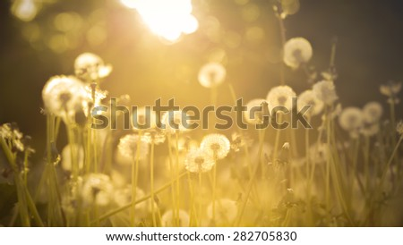 De-focused dandelion on the meadow at sunlight background - stock photo