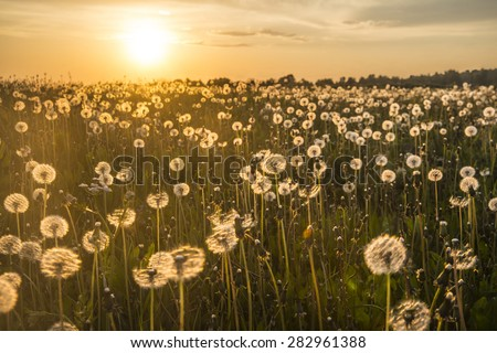 De-focused dandelion on the meadow at sunlight nature background Spring meadow flowers on the summer field at sunlight backdrop Sunny evening on forest trees and sky sun light  - stock photo