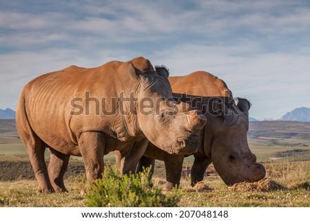 De-horned rhinoceros in the veld - stock photo