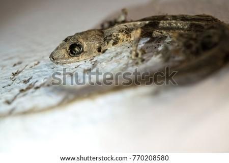 house lizard stock images royaltyfree images  vectors
