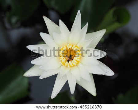 dead bee in blooming white lotus close up.