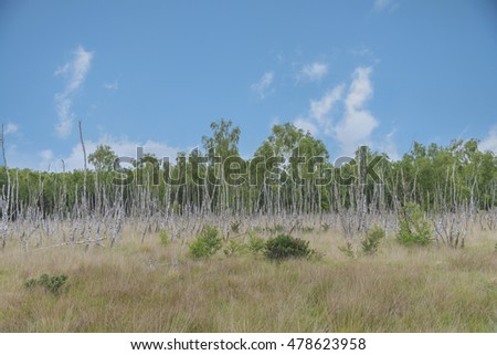 dead  birch wood in forest with blue sky , England
