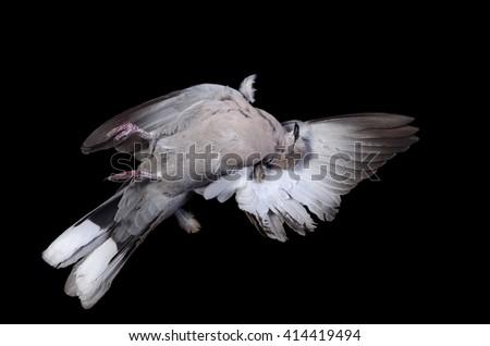 dead bird - a turtledove on a black background - stock photo
