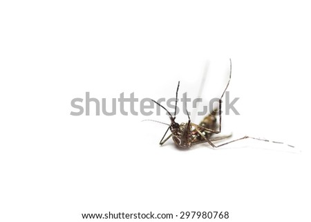 dead black culex mosquito on isolated background - stock photo