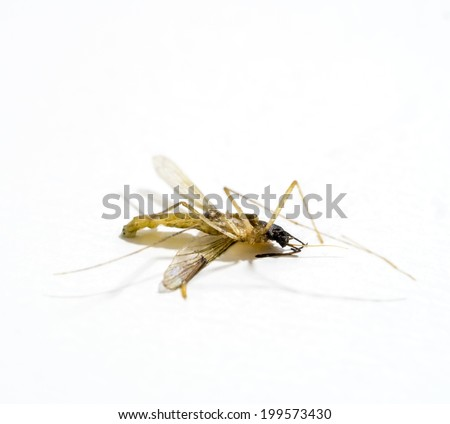 Dead body of a small mosquito isolated on white - stock photo