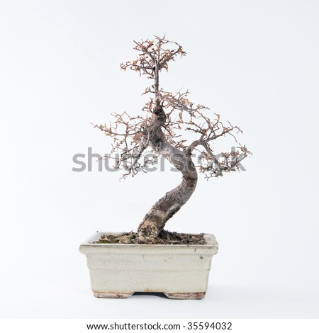 Dead bonsai tree - stock photo