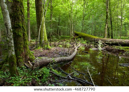 Dead broken trees moss wrapped and watrhole in summertime shady stand,Bialowieza Forest,Poland,Europe