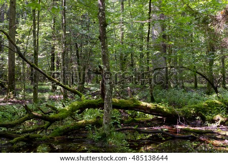Dead broken trees moss wrapped with nettle grows over in summertime shady stand,Bialowieza Forest,Poland,Europe