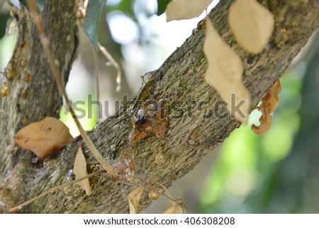 dead bug trap in gum tree - stock photo