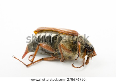 dead cockchafer isolated (macro, head right) - stock photo
