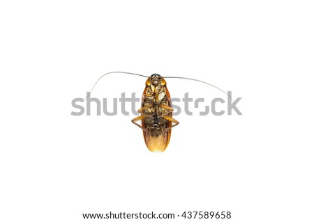 dead cockroach isolate on white background,Cockroaches as carriers of disease - stock photo
