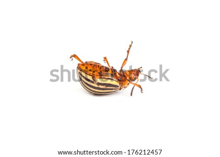 Dead colorado potato beetles isolated on a white