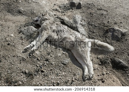 Dead decaying dog in the desert. - stock photo