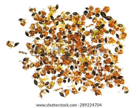 Dead fire ants (Solenopsis) isolated on a white background. Macro - stock photo