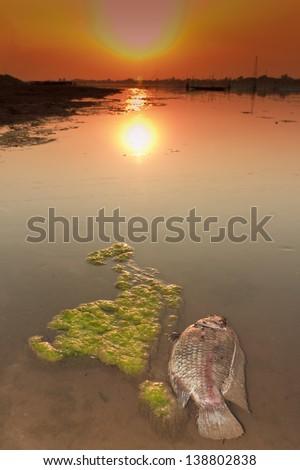 Dead fish along the Mekong River in algae. - stock photo