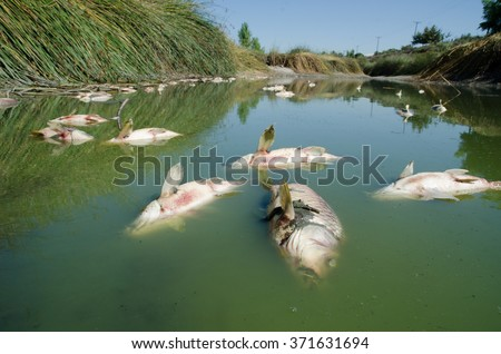 Dead fish (carp) float to the surface of the water in this polluted channel.   - stock photo