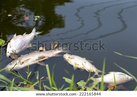 dead fish floated in  the dark water, water pollution - stock photo