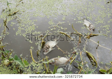 Dead fish floated in the waste water.Water pollution concept. - stock photo