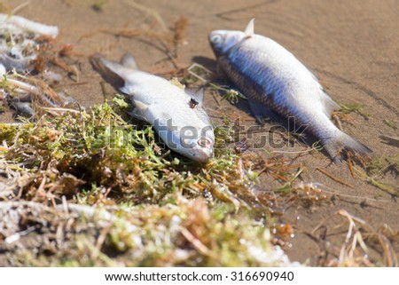 dead fish on the river - stock photo