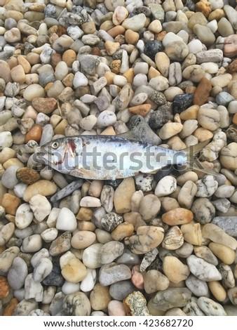 Dead fish on the rocks. - stock photo