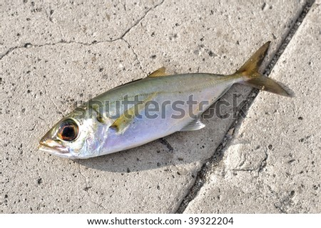 Dead fish - sardine used as bait over asphalt surface