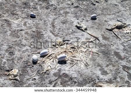 Dead flamingo and flamingo eggs on a coast of Laguna Colorada lake on bolivian Altiplano - stock photo