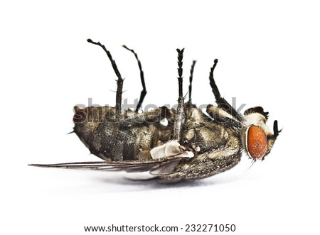 dead fly on white background - stock photo