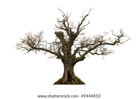 Dead hollow oak tree isolated on white background - stock photo