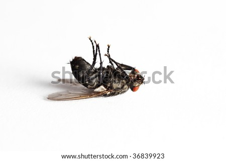 Dead house fly (Muscidae Domestica), macro on white background - stock photo