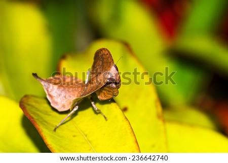 Dead Leaf Mantis, presumably Deroplatys desiccata, in Andasibe Mantadia National Park, Madagascar - stock photo