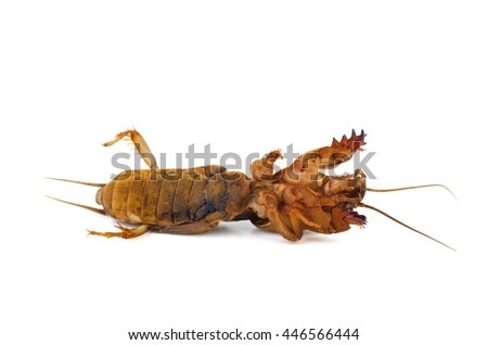 Dead mole cricket insect isolated on white background - stock photo