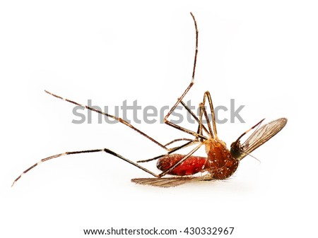 Dead mosquito full of human blood on white background
