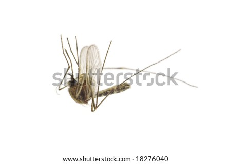 Dead mosquito isolated on white background - stock photo