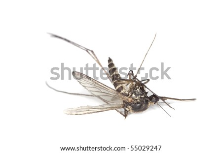 Dead mosquito isolated on white background. Extreme close-up. - stock photo