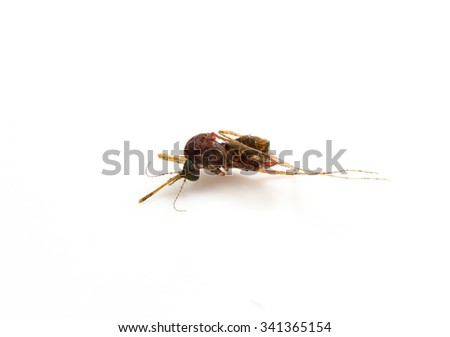 Dead mosquito. Killed mosquito. isolated on white background