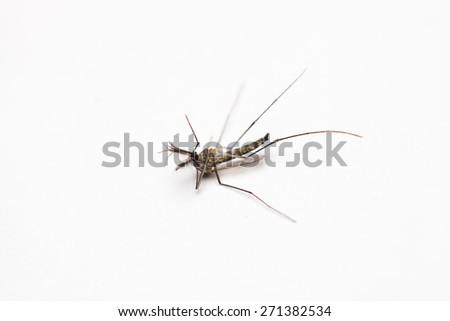 Dead mosquito lie-down on white background. - stock photo