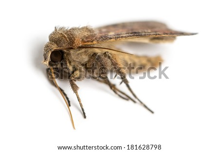 Dead moth, isolated on white